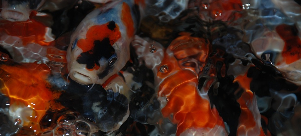 Japan koi export terms and conditions for Japan koi import