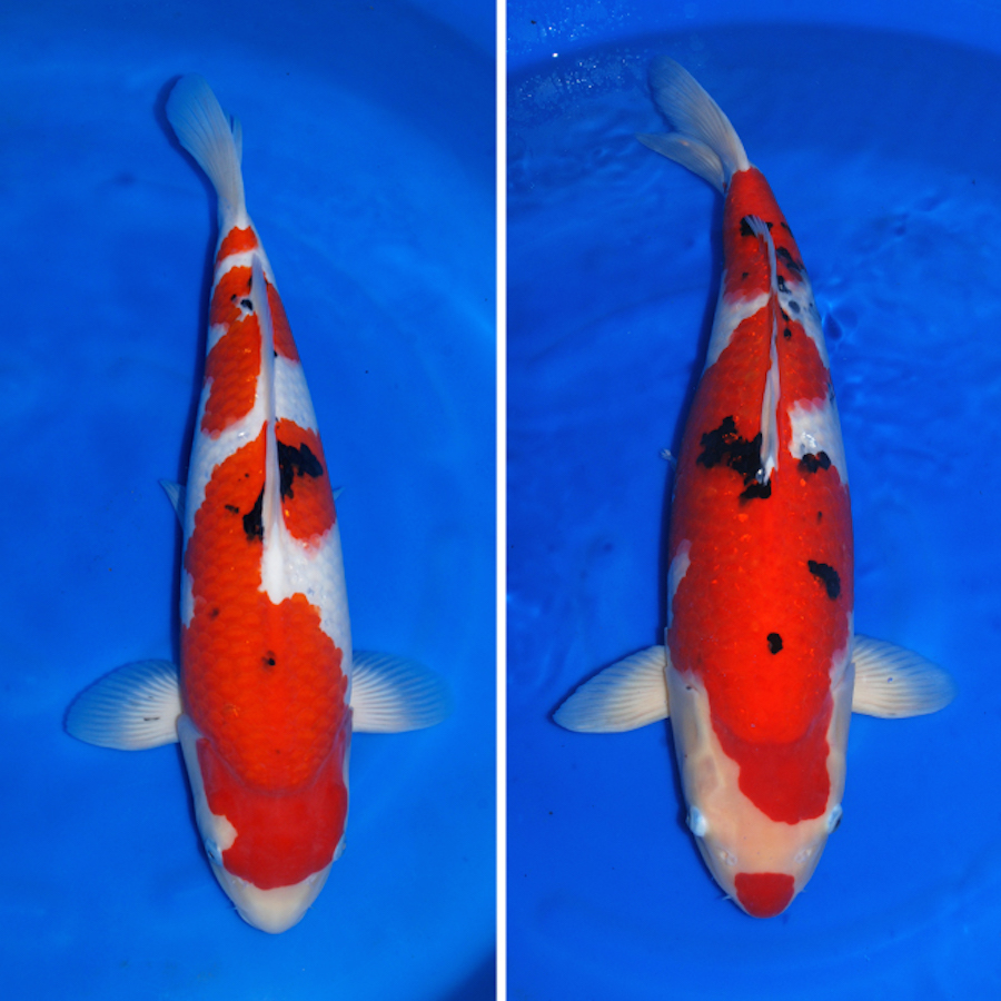Japan koi export special offers for High quality koi